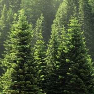 scots pine scent